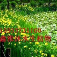 供应威海水生鸢尾种植,厂家种植睡莲 ,荷花,芦苇,香蒲,水葱,千屈菜,生态浮岛,美人蕉,芦竹,再力花,等批发