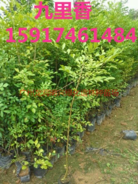 供应用于绿化造林的广东九里香树苗供应商便宜价格,南方九里香小苗批发价,九里香袋苗供应商报价,南方九里香苗木出售价格