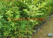 供应九里香树苗多少钱,九里香袋苗多少元,九里香种苗供应商,九里香价格