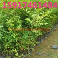 供应用于绿化造林的广东30公分高九里香种苗供货商,南方40公分高九里香袋苗批发商价格,广州50公分高九里香树苗报价