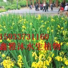 供应河南黄菖蒲种植厂家,专业种植荷花,芦苇,睡莲,芦竹,千屈菜等