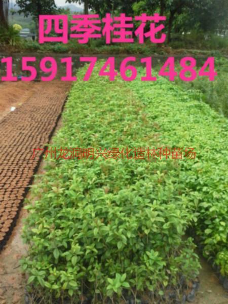 供应四季桂花苗木市场价,四季桂花树苗便宜价格,四季桂花小苗供应商
