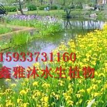 供应种植黄菖蒲技术,专业种植睡莲,荷花,再力花,香蒲,红莲等水生植物
