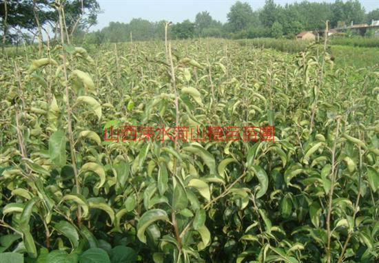 供应用于种植的山西哪有品种梨树苗供应商