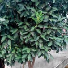 供应香泡树苗,苔苔桔,金桔,砂糖橘,红美人地户直销图片