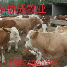 供应西门塔尔牛的价格西门塔尔牛的养殖场西门塔尔牛多少钱批发