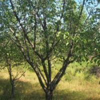 供应山楂树 山楂树/批发山楂树出售山楂树