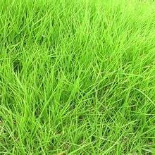 供应草坪/草坪基地/草坪价格