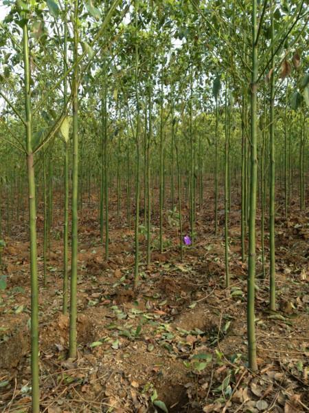 供应湖北香樟批发价格,湖北香樟批发种植