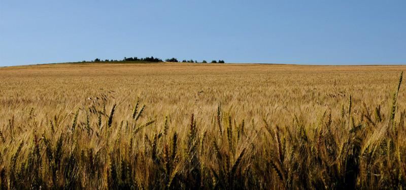 呼伦贝尔小麦