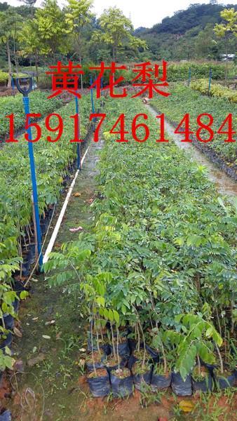 供应优惠黄花梨,广州市黄花梨优惠出售,黄花梨简介,黄花梨市场报价。
