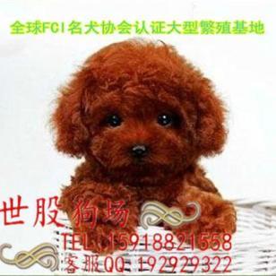 广州狗场广州玩具贵宾犬价格图片