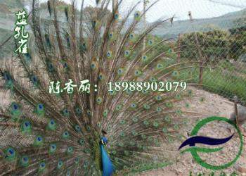 江苏珍珠鸡苗图片