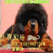 广州藏獒犬大概价格多少图片