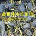 供应睡莲苗厂家销售,荷花苗,红莲苗,白莲苗,耐寒荷花苗等批发