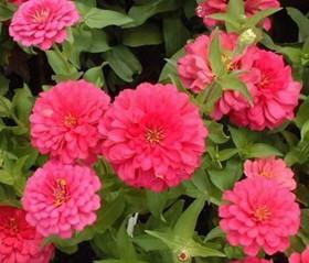 园艺花卉基地提供优质的园艺花卉,园艺花卉基地提供优质的园艺花