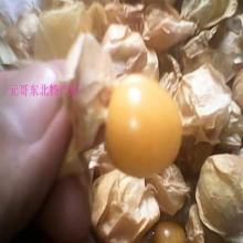 供应黄菇娘种子/黄姑娘种子/黄菇娘/甜菇娘/洋菇娘/灯笼果种子