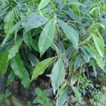 供应用于药材的玉林沉香