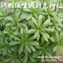 供应用于保健蔬菜的有机蔬菜养心菜种苗