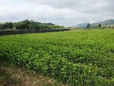供应广西50公分桂花苗价格,桂花小苗种植技术