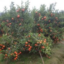 供应用于种植的永福县东方红橘种苗批发批发