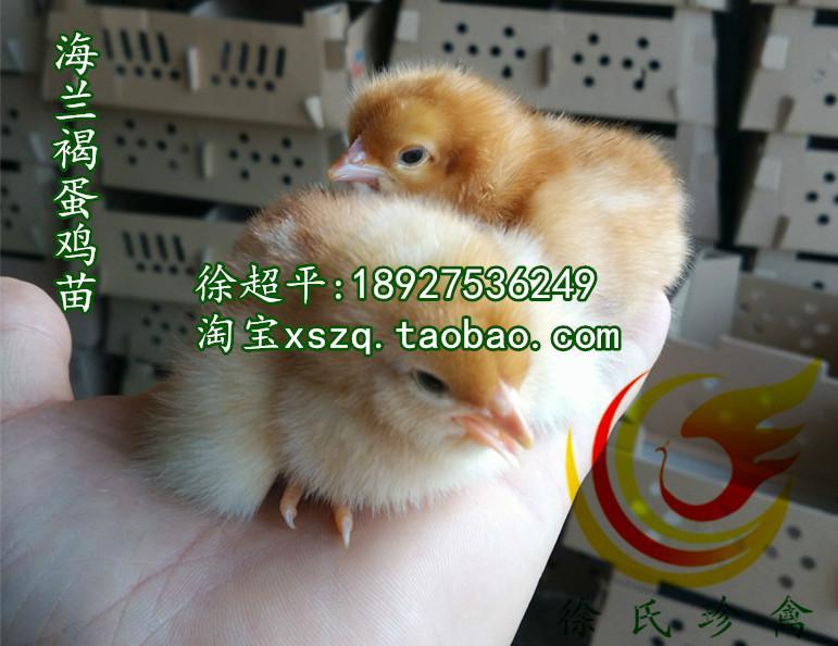 供应梅州蛋鸡苗-年高产300枚蛋鸡苗出售