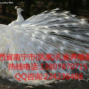 广西凤凰大型白孔雀养殖基地图片