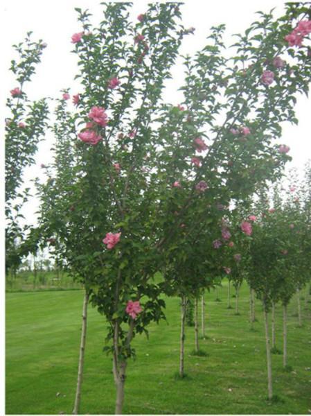 供应玫瑰木槿