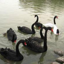 供应观赏珍禽黑天鹅