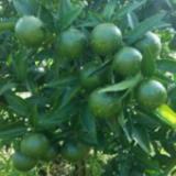 供应红桔小苗,供应东方红桔小苗,东方红桔小苗桂林供应商