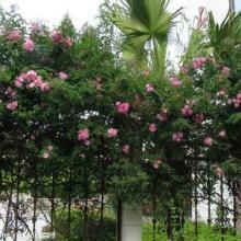大红花蔷薇价格很贵