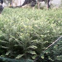 广西南方红豆杉3年生苗厂家 广西红豆杉苗批发 广西红豆杉苗基地