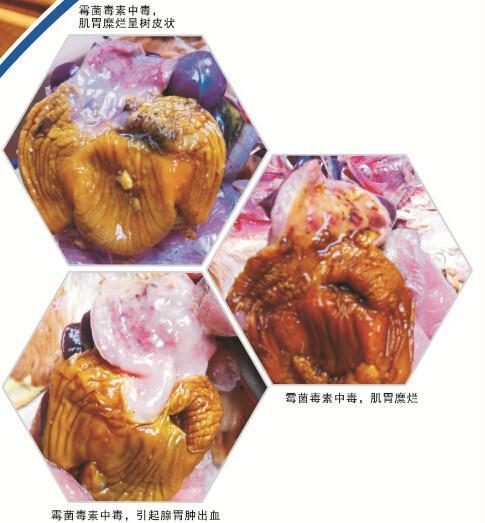 腺+��\y�#�.b:/��.#yc�_供应鸡腺肌胃炎症状