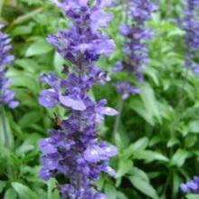供应用于道路 花卉  观赏的蓝花鼠尾草产地批发图片