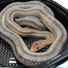 供应广西蛇,供应广西蛇批发,供应广西蛇哪里有批发