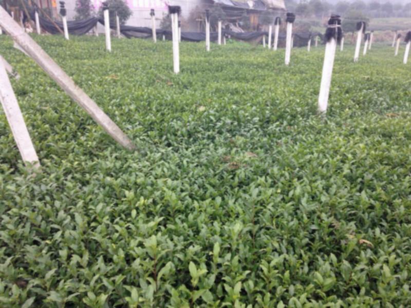 供应优质名选131茶苗供应商,131茶苗供应商批发商