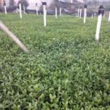 供应名选131茶叶苗价格,名选131茶苗批发价格