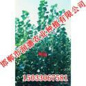 河北107杨邯郸润德农业图片