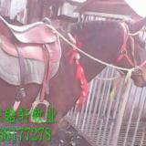 广东供应用于农用的马骡养殖价格,新疆西门塔尔牛基地