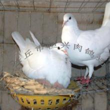 供应佳木斯肉鸽养殖种鸽价格乳鸽饲养批发