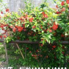 江苏日本海棠基地,日本海棠50公分高供应商,哪里有日本海棠卖?