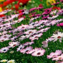 供应宿根花卉,辽宁大量草花地被、东北宿根花卉、低价供应宿根花卉