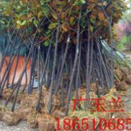 5公分广玉兰图片