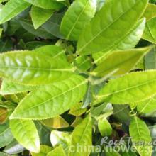 供应厂家生产保健茶树油