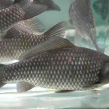 供应用于垂钓|养殖|鲫鱼鱼苗的北京鲫鱼苗批发黄金鲫鱼苗批发价格