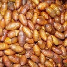 供应用于生津止渴蚕蛹提取物