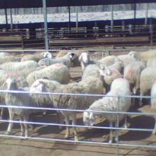 供应肉羊种羊肉羊,肉羊种羊,畜牧良种,种羊,肉羊养殖,肉牛养殖批发