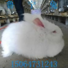 供应今年安哥拉长毛兔价格安徽省养殖场