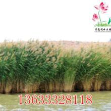 供应批发园林植物芦苇/微山湖野生芦苇种苗