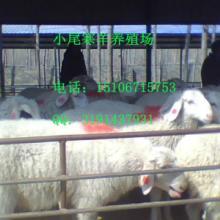 供应广东肉羊繁殖